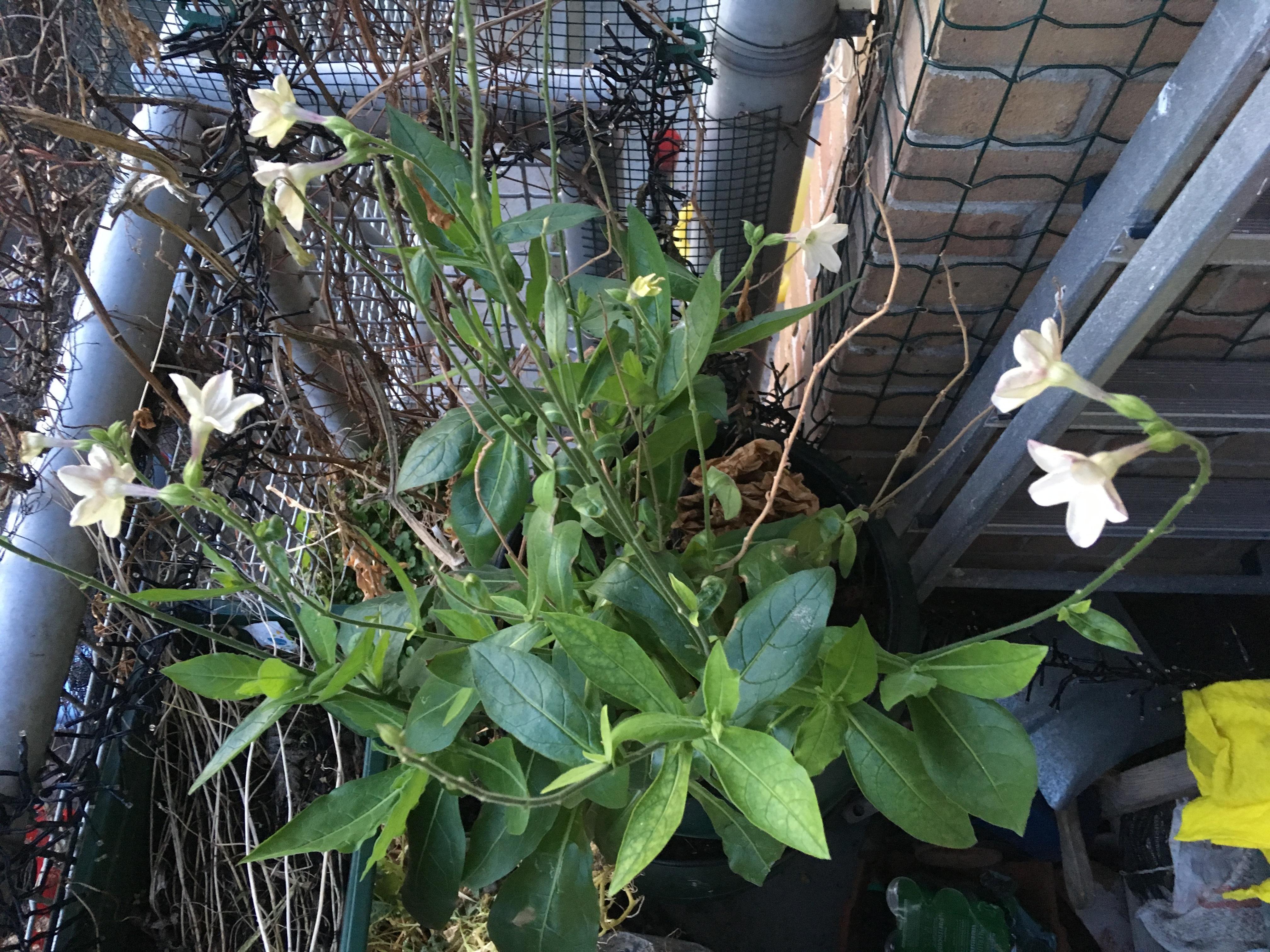 balkonton met tabaksplant